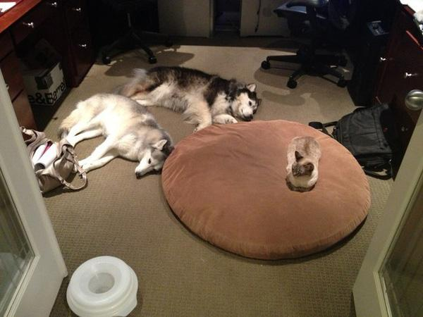 17 chú chó cảm thấy hờn cả thế giới vì bị mèo KS mất chỗ ngủ