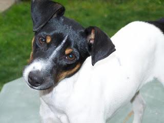 Chilean Terrier-pets-dog breeds