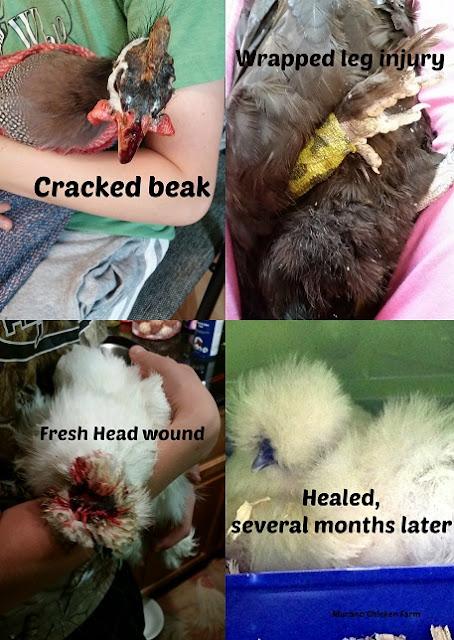 injured chicken