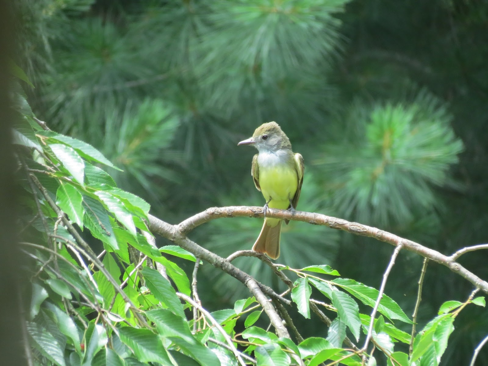 The Flycatcher Has A Large Head And Crest That Is Not Always Prominent This Bird Also Bright Lemon Yellow Belly