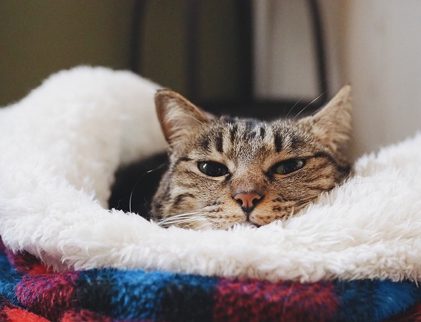 寝袋から顔だけ出してるキジトラ猫