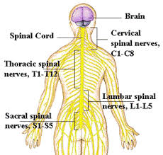 picture of Spinal cord