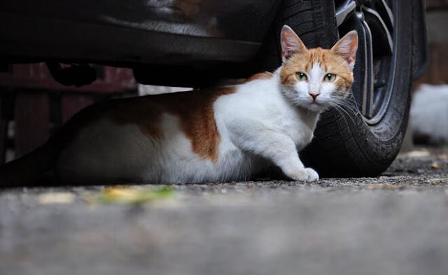 Quanto costa castrare un gatto
