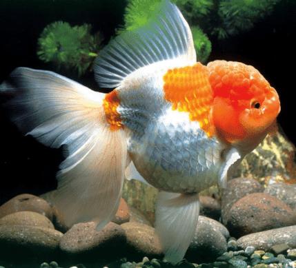 Ikan Mas Koki 7 Jenis Ikan Mas Koki Beserta Harga Dan Cara Merawatnya Hewan Air Info