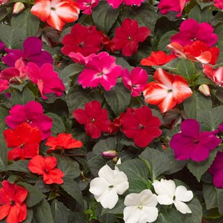 Love Impatiens And Basil New Downy Mildew Resistant Varieties Out