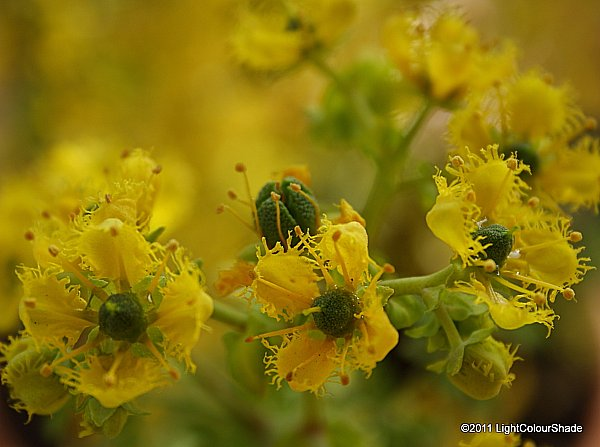 Fringed rue (Ruta chalepensis) flowers