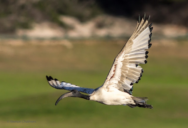 African Sacred Ibis flying towards Woodbridge Island from the Milnerton Golf Course, Cape Town