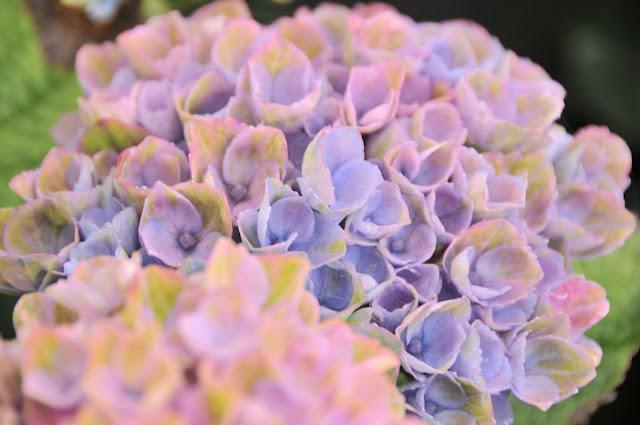 Revolution Hydrangea bicolor