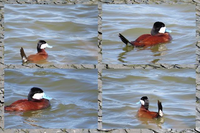 Bird watching Bay Area - ruddy duck