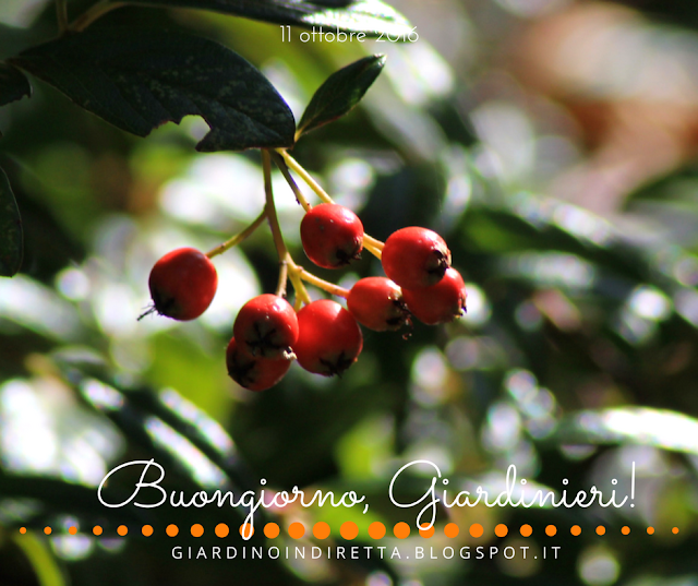cotonaster (cotoneaster dammeri) - l'agenda del giardino e del giardiniere - un giardino in diretta