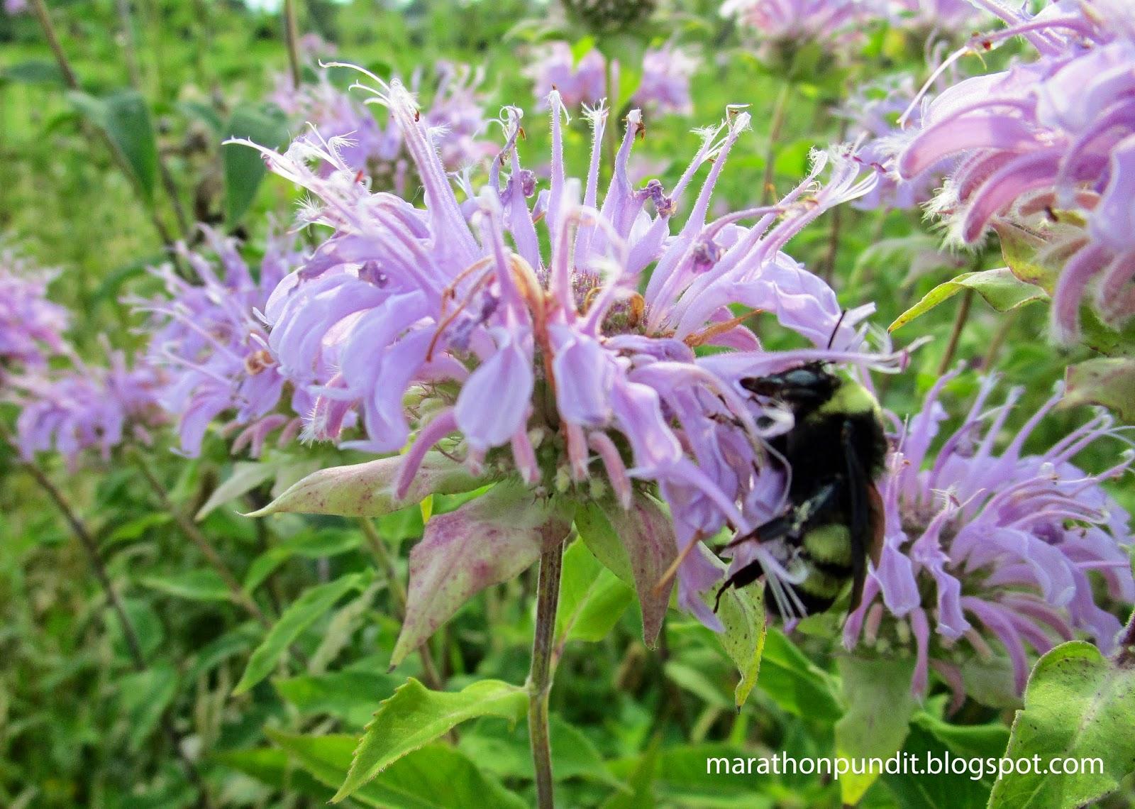 Marathon Pundit: Wild bergamot and a bumblebee