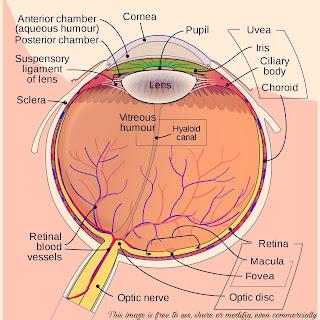mammalian-eye