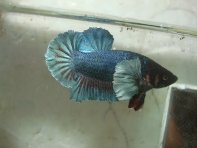 ikan cupang kuping gajah