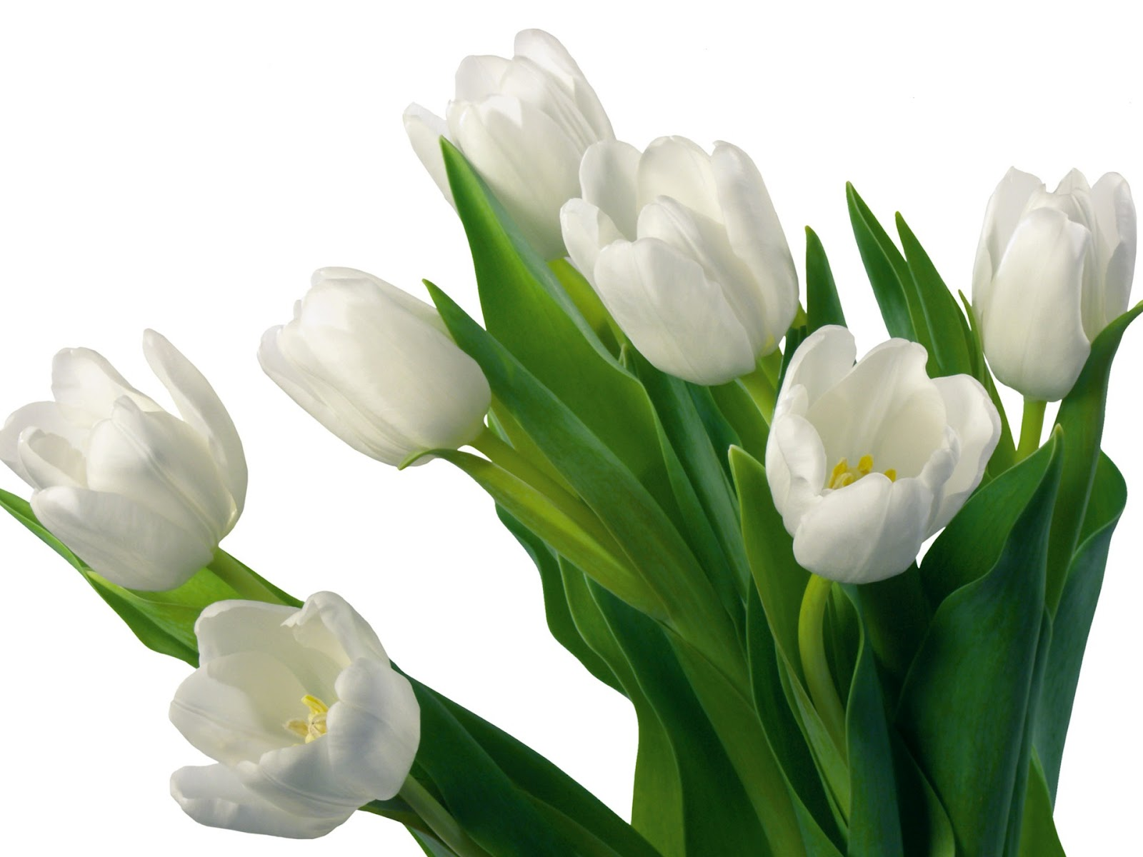 Flowers For Flower Lovers.: White Tulips Flowers