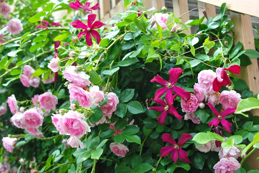 Wife Mother Gardener Climbing Rose And Clematis Combination