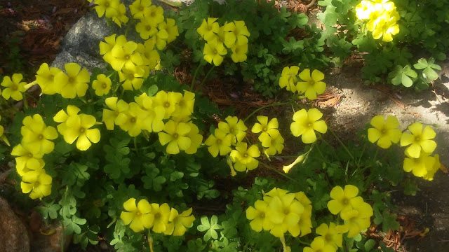 żółta koniczyna, podwórko Ornos Mykonos Grecja