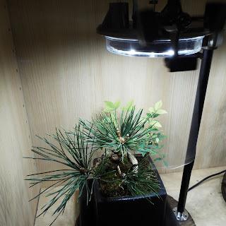 黒松の寄植盆栽