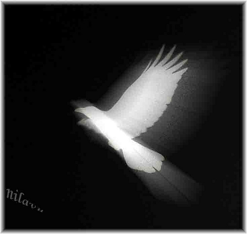 Suara Burung Gagak Putih Sulawesi