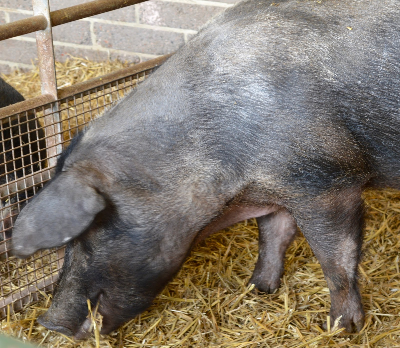 Birthday Parties at Whitehouse Farm in Northumberland | What to expect & review - pigs