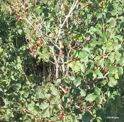 Rhus trilobata three leaf sumac
