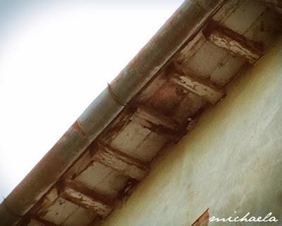 Due nidi di rondine in costruzione