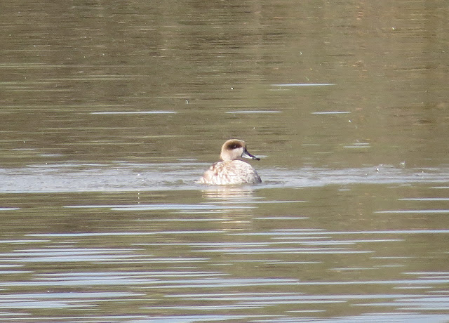 Marbled Duck - S'Albufera Natural Park, Mallorca