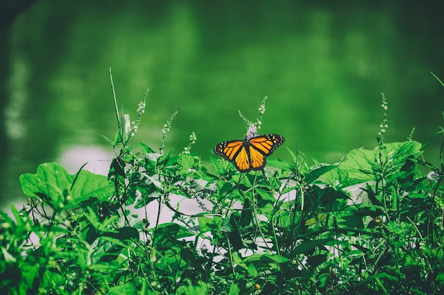 Florida Monarch Butterfly Population Decline