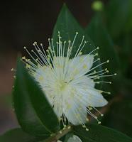 Flor blanca i bonica per Teresa Grau Ros