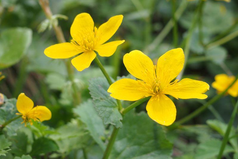 Gelbe Wiesenblumen