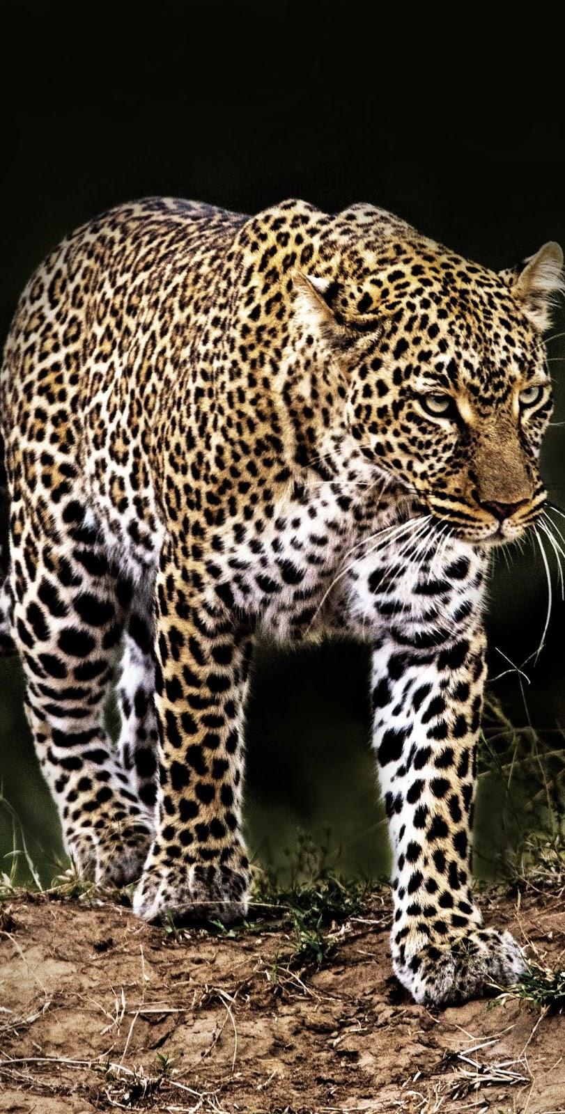 A leopard on night patrol.