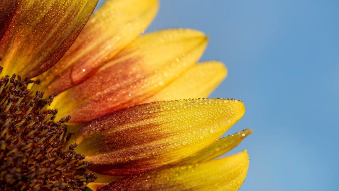 Sunflower - The Art of Macro Photography