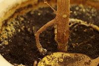 figowiec sprężysty - korzeń powietrzny