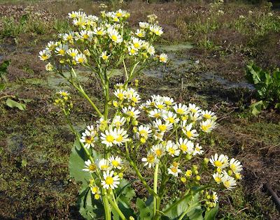flor nativa Margarita de bañado Senecio bonariensis