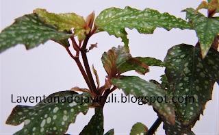 begonia-pink-medora