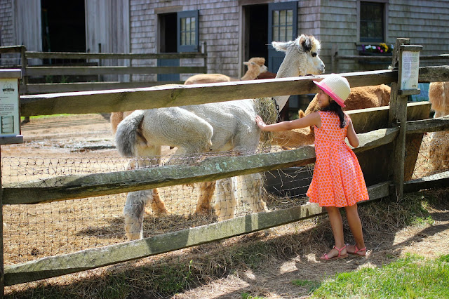 Alpaca Island | Martha's Vineyard | Chichi Mary Blog