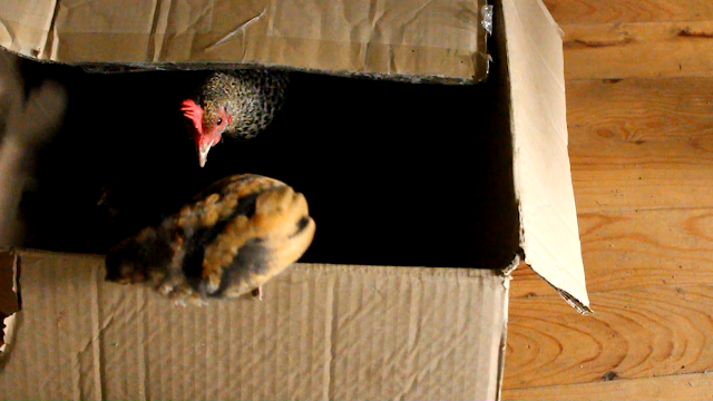 Hen laying with her chicks in a cardboard box