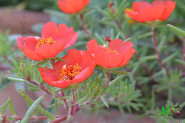 Metro Greens: Red portulaca