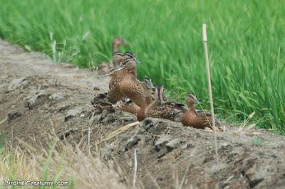 Ànec collverd (Anas platyrhynchos)