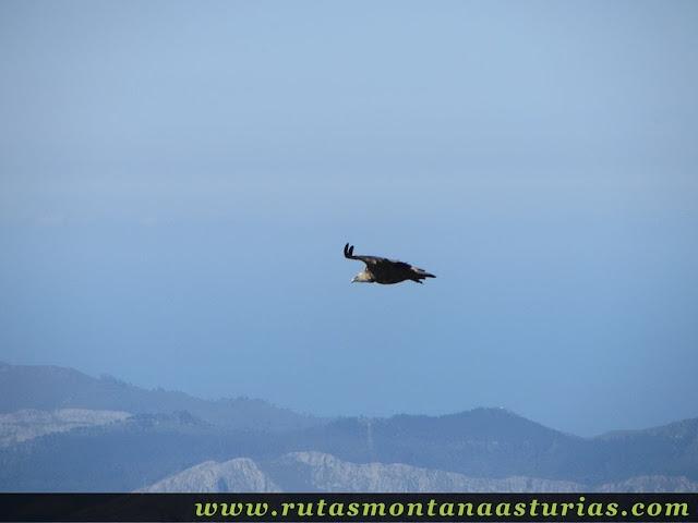 Ruta Lagos de Covadonga PR PNPE-2: Buitre