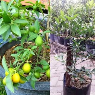 pohon-jeruk-tong-heng.jpg