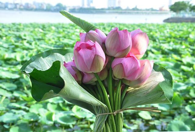 cách giữ hoa sen lâu tàn