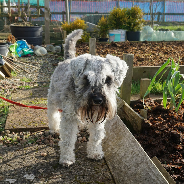 Toby at the allotment - Carrie Gault