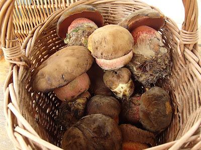 grzyby 2017, grzyby w czerwcu, grzyby na Orawie, bacówka, Babia Góra, wypoczynek pod Babią