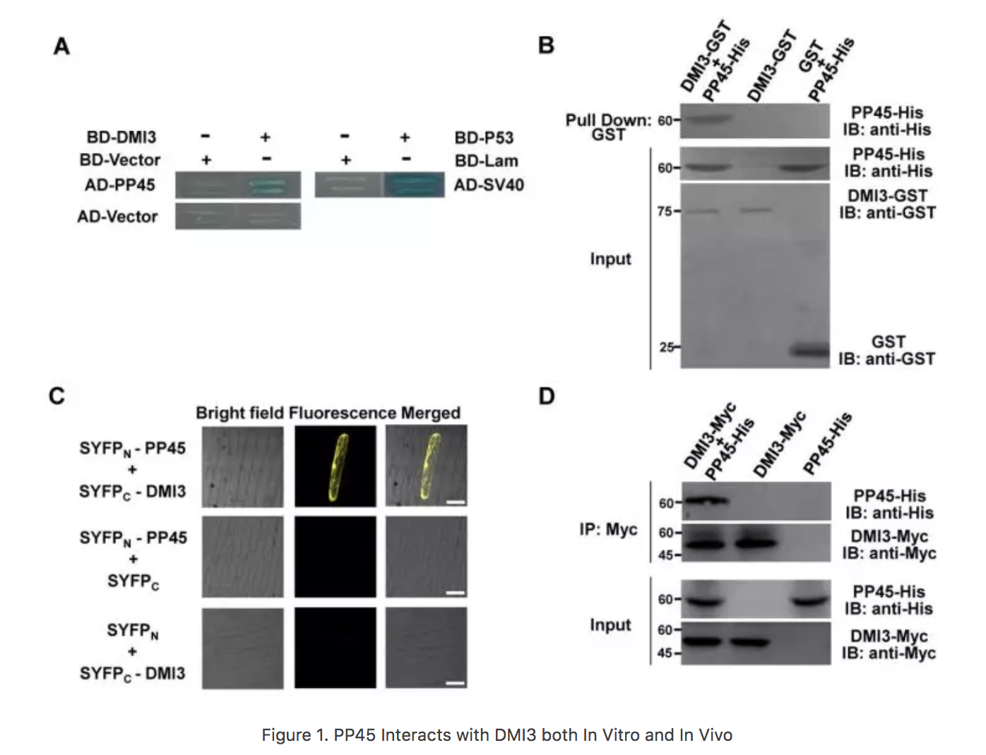 Figure 1. PP45 Interacts with DMI3 both In Vitro and In Vivo
