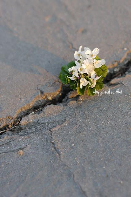 Buchet de toporasi albi in asfalt