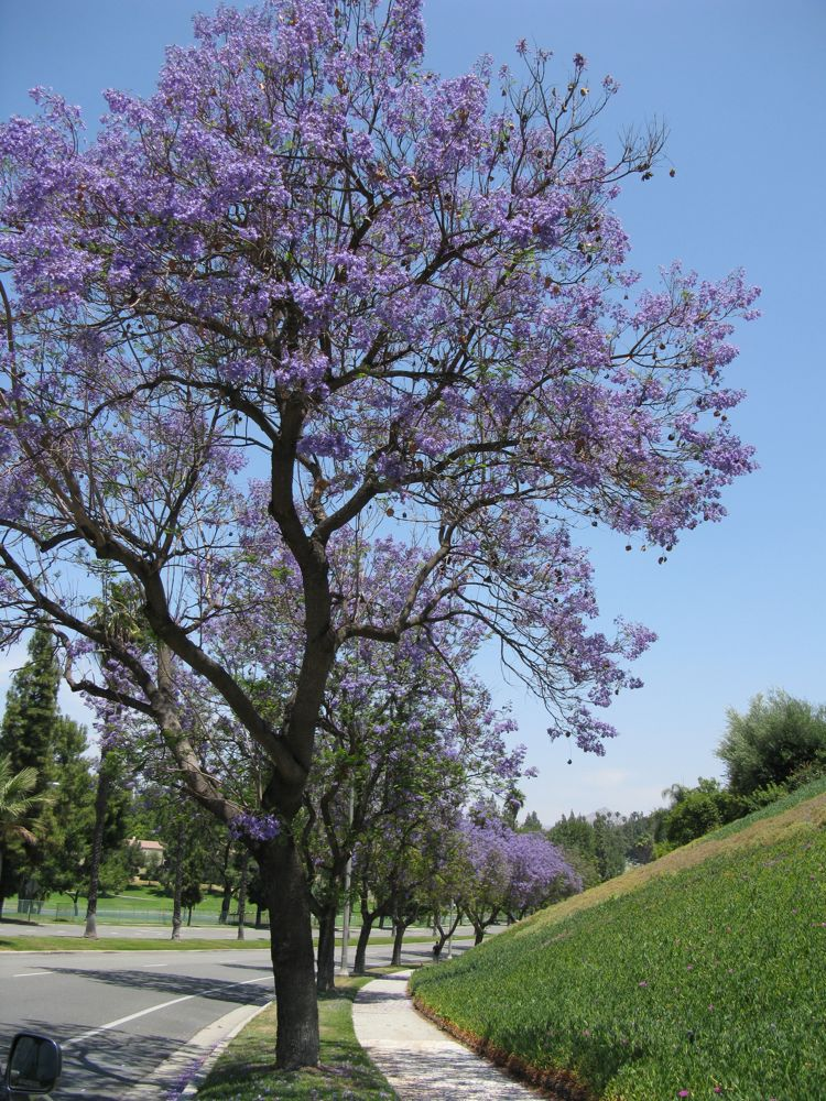 OccasionalPiece: Jacaranda Trees