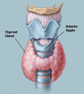 Thyroid Gland and Adam's Apple Image