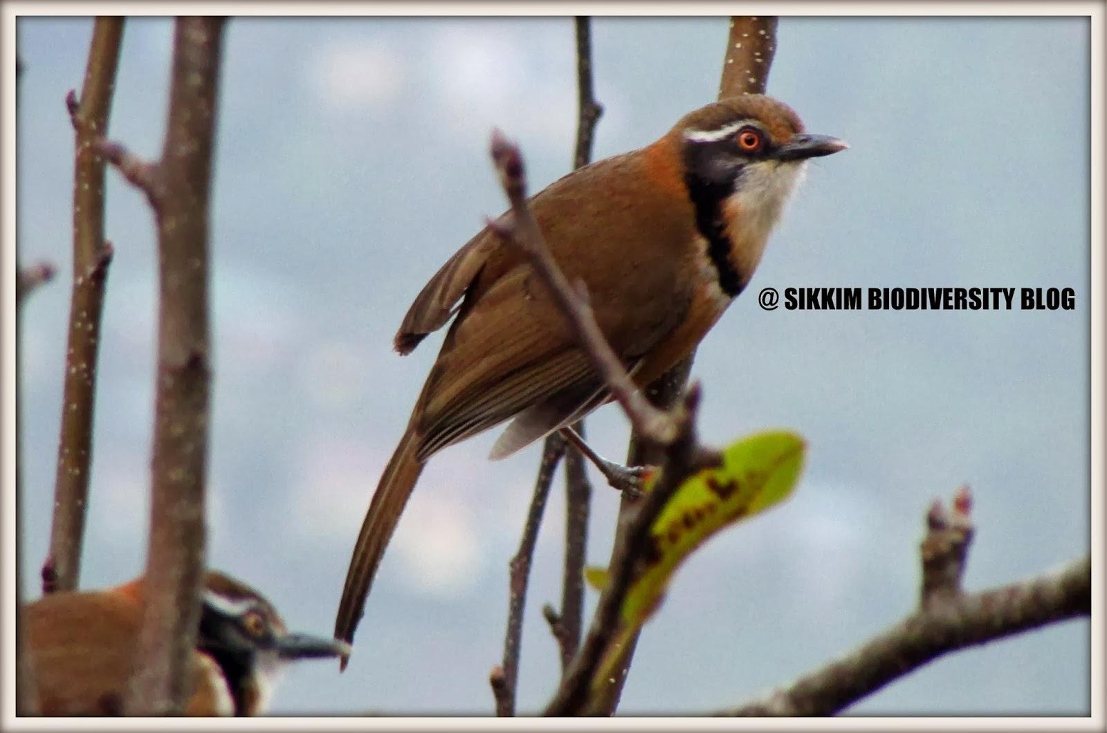 Sikkim Biodiversity Where Nature Smiles Garrulax Monileger Lesser Necklaced Laughingthrush Sikkim Bird