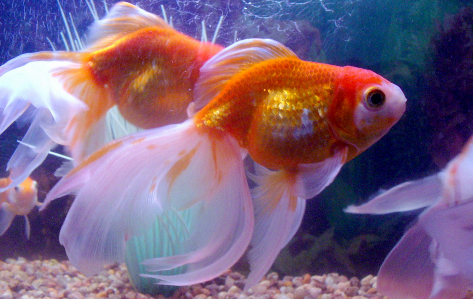 Goldfish, how to feed your pet!