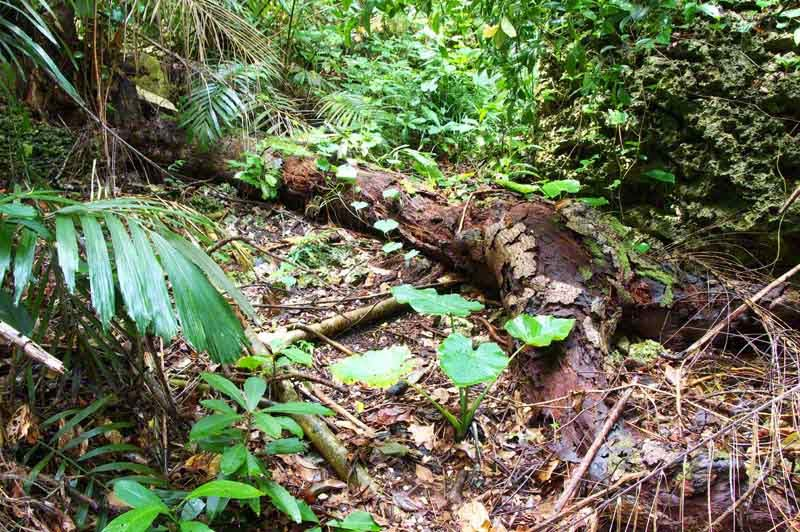fallen tree, jungle trail